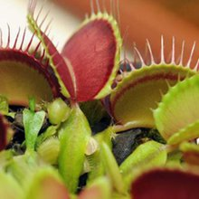 Scientists probe mystery of venus fly trap