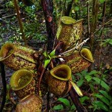 Where people eat carnivorous plants