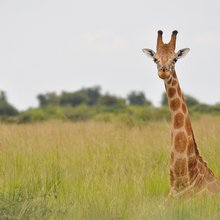 Conservationists Sound Alarm on Plummeting Giraffe Numbers