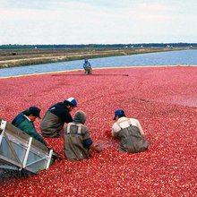 The Cranberry's Bitter History