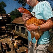 Aging urban chickens get a second life as pets