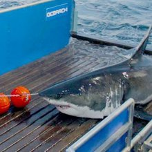 Scientists suggest local waters are birthing site for great white sharks