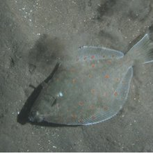 Bottom trawling reduces size of commercially important flatfish