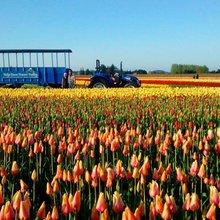 Tulip Town
