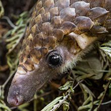 U.S. zoos learn how to keep captive pangolins alive, helping wild ones