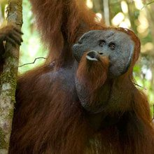 Preserving orangutan culture an ingredient for successful conservation