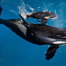 This baby killer whale is the last one born at SeaWorld