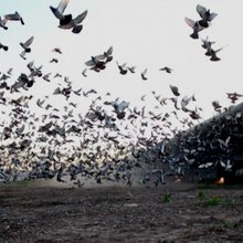 Na rota da maior largada de pombos-correio - JN Live