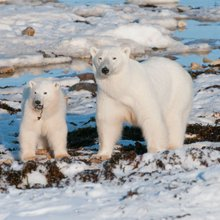 Climate change will scramble polar bears' diets - and eggs aren't the solution | human-impact | E...