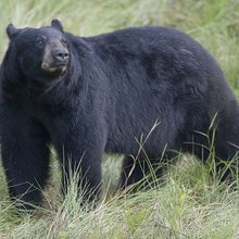 Nearly 300 Bears Killed in Florida's First Black Bear Hunt in Decades