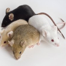 Unexpected Diversity Found in 16 New Lab Mouse Genomes | Quanta Magazine