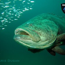Critically Endangered Goliath Groupers, Hope for Sharks and the State of Our Corals - Mission Blu...