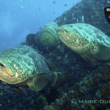The Goliath Grouper still needs your help in Florida waters! - Mission Blue