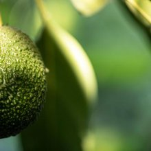 Green Gold: A Global Demand for Avocados Leaves People Without Water in Chile