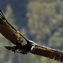 Yurok Tribe Restores Condor Population in Redwood National Park