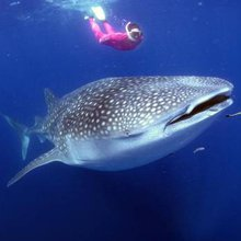 Swimming with whale sharks: Is this crazy or courageous?