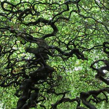 France's Gnarly Trees in Atlas Obscura