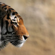 In New Park, China Creates a Refuge for the Imperiled Siberian Tiger