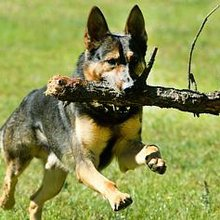 Glen Waverley policewoman earns Dog Arrest Queen Award