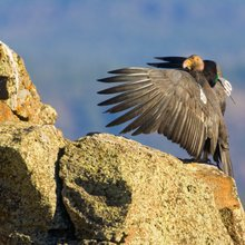 California condors face lead menace