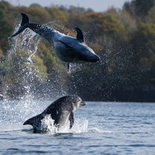 Bottlenose dolphins use names to identify companions