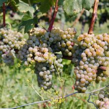 Friuli's Native Vines Are Ripe for Discovery