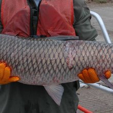First evidence of invasive Asian carp reproducing in Great Lakes
