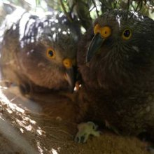 Kea nest discovered in culvert on Motueka forestry site hailed as significant