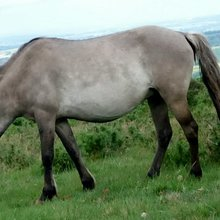 Pony mutilated in suspected satanic act in Dartmoor