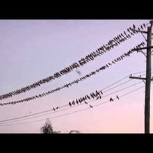 Bird Invasion: Galahs Take Over Outback Town