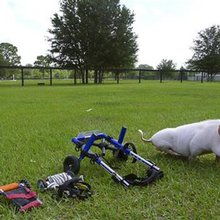 Fla. pig using wheelchair becomes an inspiration