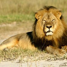 Death of Zimbabwe's Best-Loved Lion Ignites Debate on Sport Hunting
