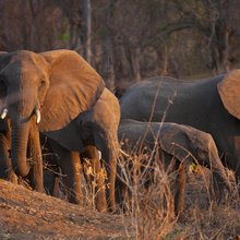 Can Killing More Elephants Actually Help to Save Them?