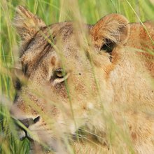 Trophy hunting fuels Asian lion bone trade