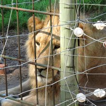 Captive-bred or canned hunting?