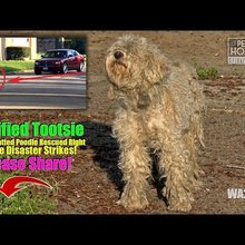 Terrified Tootsie ~ Injured Matted Poodle Rescued Before Disaster - Please Share!