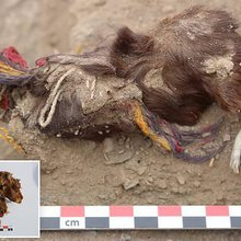 Incas decorated guinea pigs in jewellery before SACRIFICING them