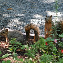 Squirrels: Furry bundles of annoyance or tireless entertainers?