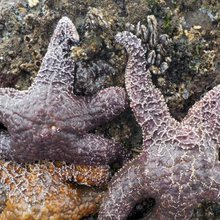 Is climate change killing American starfish?