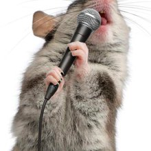 Mice SING to each other when they are courting