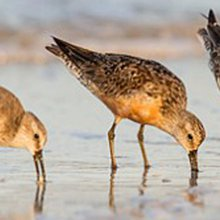 Racing to Save an Endangered Shorebird