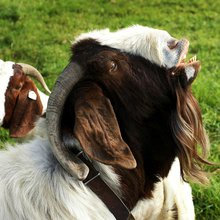 Goat Sex: Everything You Wanted to Know But Were Afraid to Ask - Modern Farmer