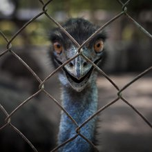 The Emu Has Landed (in India)