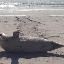 Arctic Seals Warm to the Brutal Cold of City Beaches, Officials Say - The Rockaways - DNAinfo.com...
