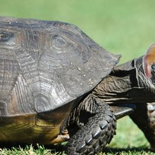 What Happened to Donald Trump's Threatened Tortoises?