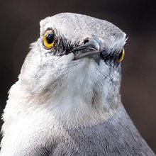 Dive-Bombing Mockingbirds Terrorize South Florida