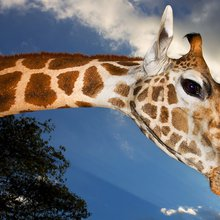 What Does the Giraffe Say? Scientists Find the Answer