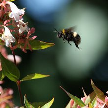 Bees Are Great at Pollinating Flowers-But So Are Vibrators