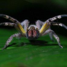 GMO Spider Venom May Be the Next Viagra