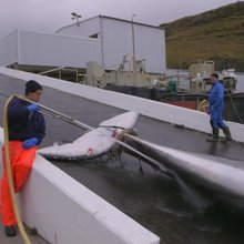 Grenades & Gastronomy: Inside Iceland's Whaling Industry